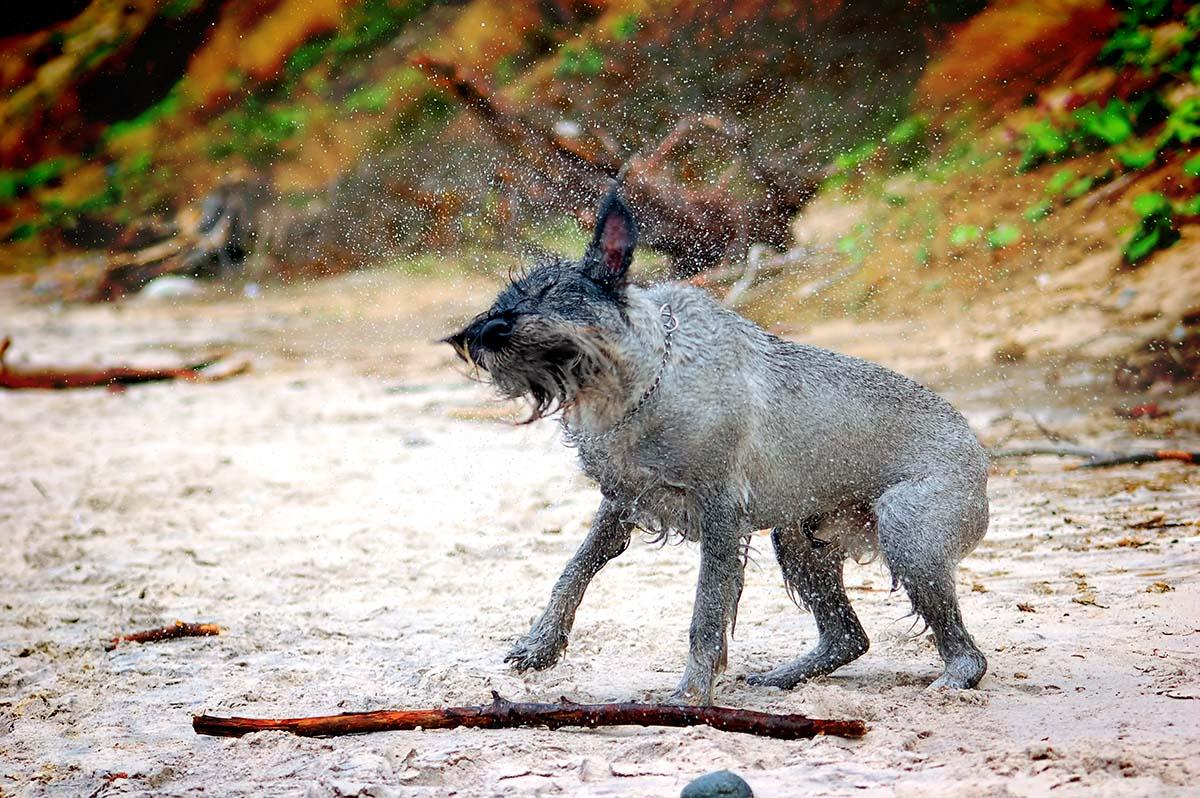 Quando si porta il cane a fare lo stripping è meglio che abbia il pelo sporco: in questo modo il pelo morto rimane più facilmente nel coltellino da stripping.