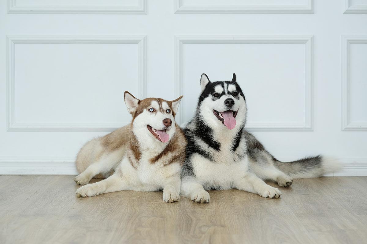 Tipo di pelo: scopriamo insieme i cani che non vanno tosati. Il loro pelo è già termoregolatore!